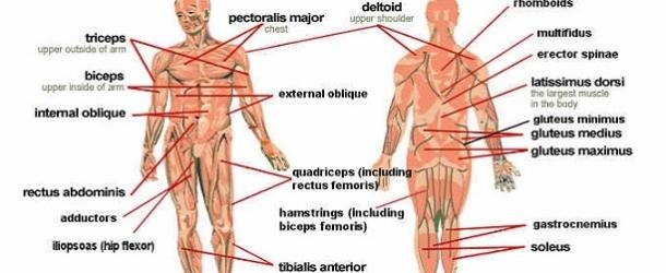 I Muscoli E I Loro Movimenti